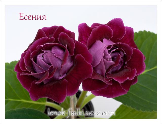глоксиния уход в домашних условиях. цветы из бисера мастер класс.